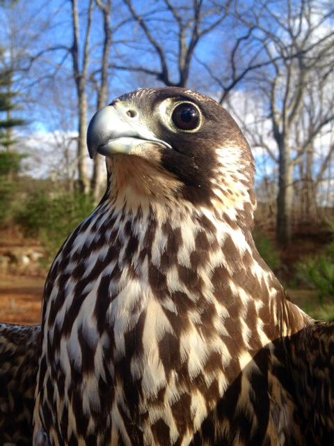 Ash, Peregrine Falcon, APCH