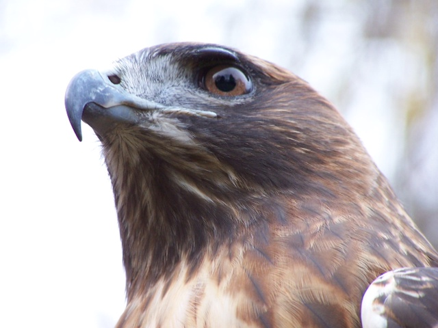 Autumn, Red Tailed Hawk - APCH