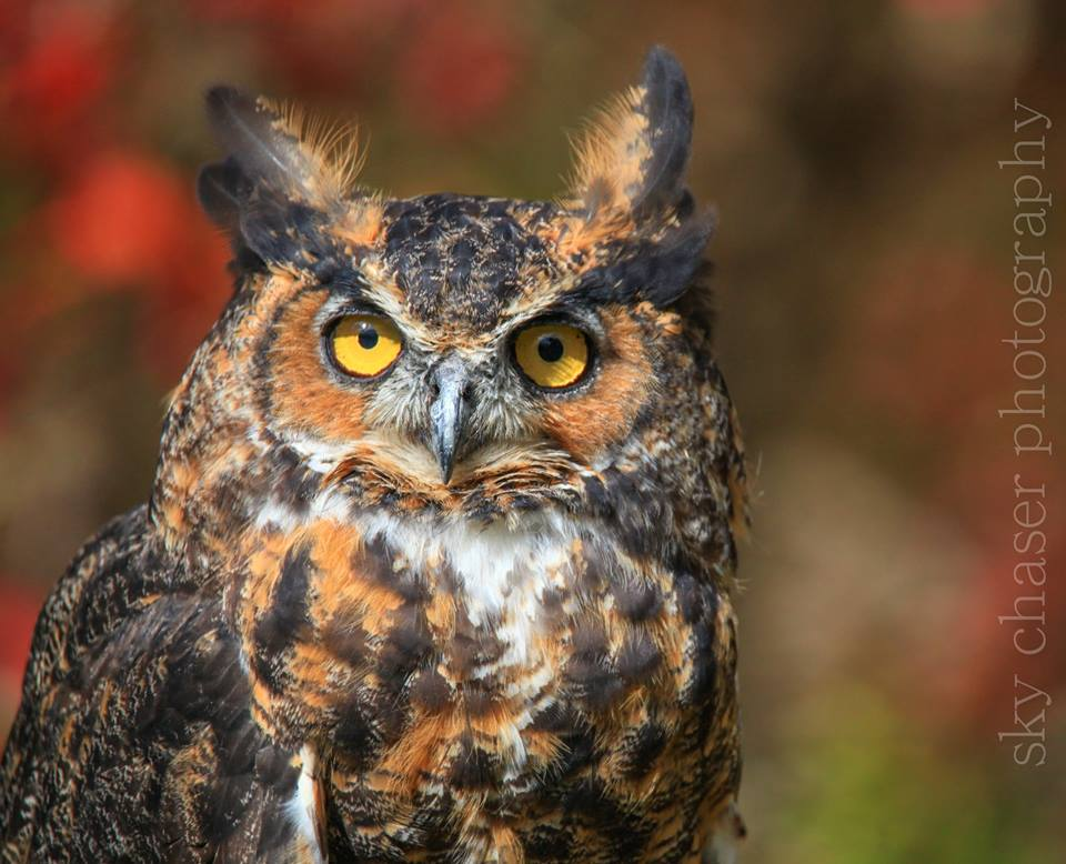 Chestnut, Great Horned Owl - APCH