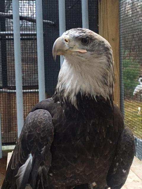 Enapai, Bald Eagle - APCH
