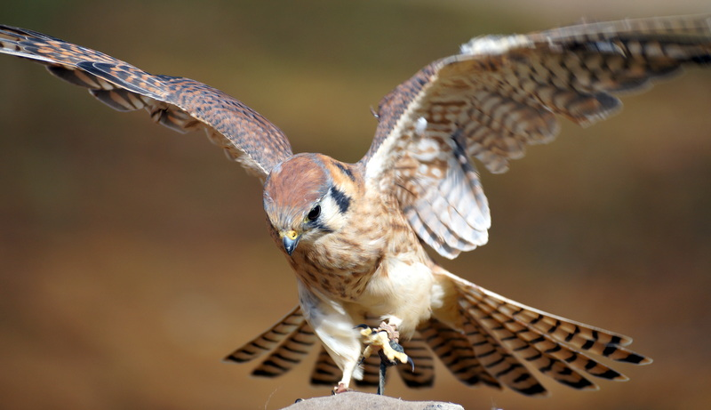 Eshe, Female Kestrel - APCH