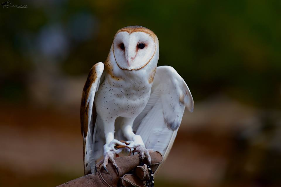Hob Goblin, Barn Owl - APCH