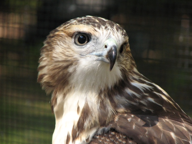 Iris, Red Tailed Hawk - APCH