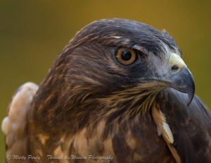 Inca, Broad Winged Hawk - APCH