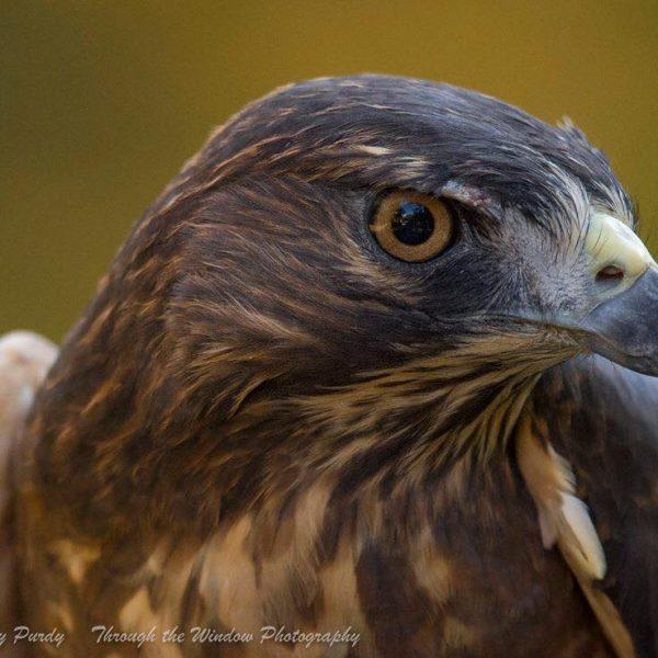 Inca, Broad Winged Hawk - APCH