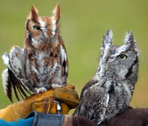 Male and Female Screech Owl - APCH