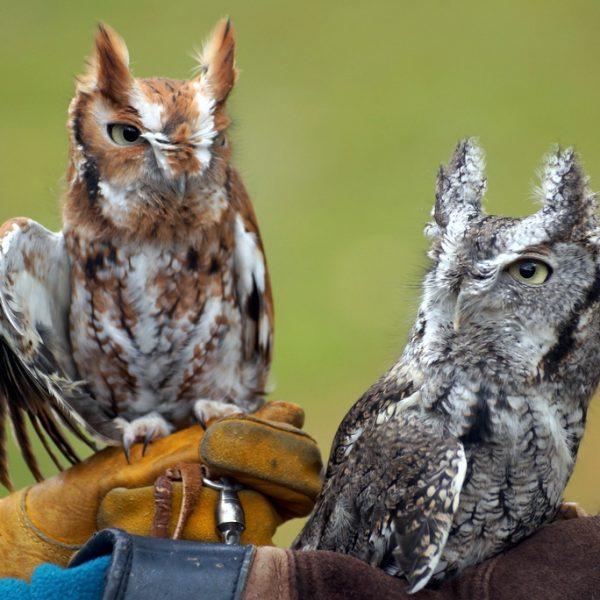 Male and Female Screech Owl - APCH