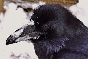 Loki, Raven - APCH