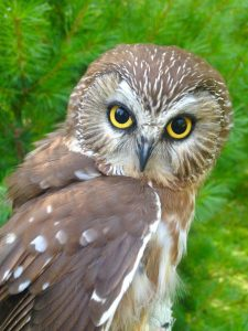 Lunar, Northern Saw Whet Owl - APCH