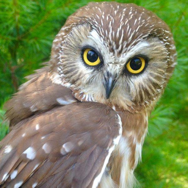 Lunar, Northern Saw Whet Owl - APCH