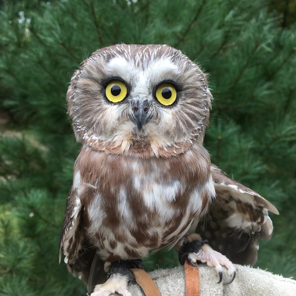 Cedar, Saw Whet Owl, APCH