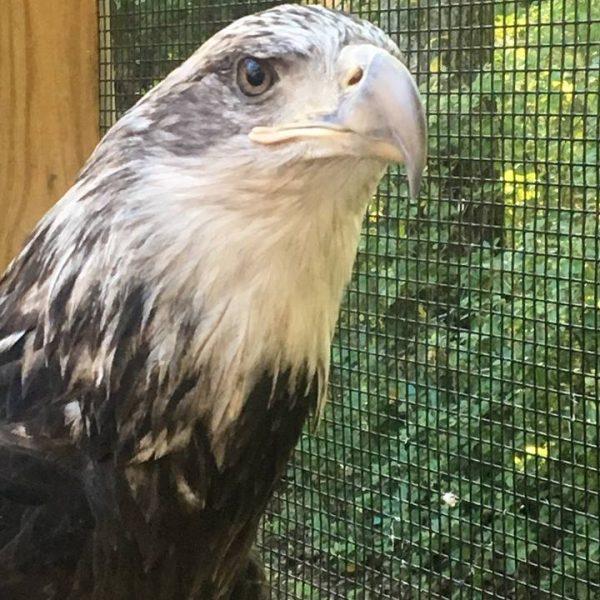 Enapai, Bald Eagle, APCH