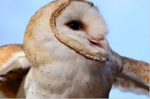 Hob Goblin, Barn Owl, APCH