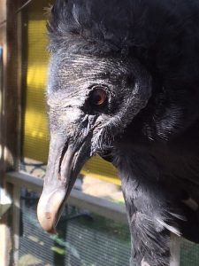 Jet, Black Vulture, APCH